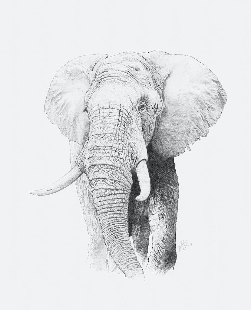 Loxodonta africana, 2018, svinčnik na papirju, 53 x 42,9 cm